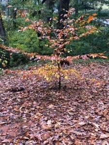 Trees Autumn in Dearborn Park 1301 Deerwood Drive Decatur City of Decatur Park DeKalb County Parks & Rec Friends of Dearborn Park