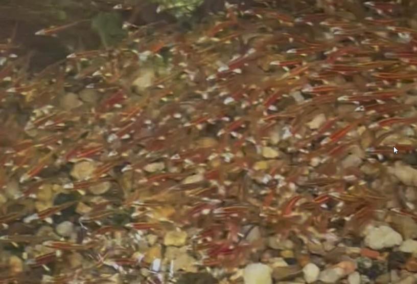 School of Fish in Shoal Creek in Dearborn Park